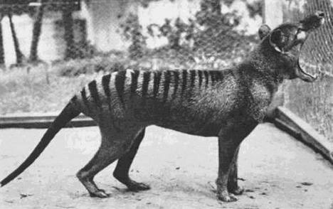 The last known Tasmanian Tiger photographed in 1933 The species is now extinct _1798894613_n