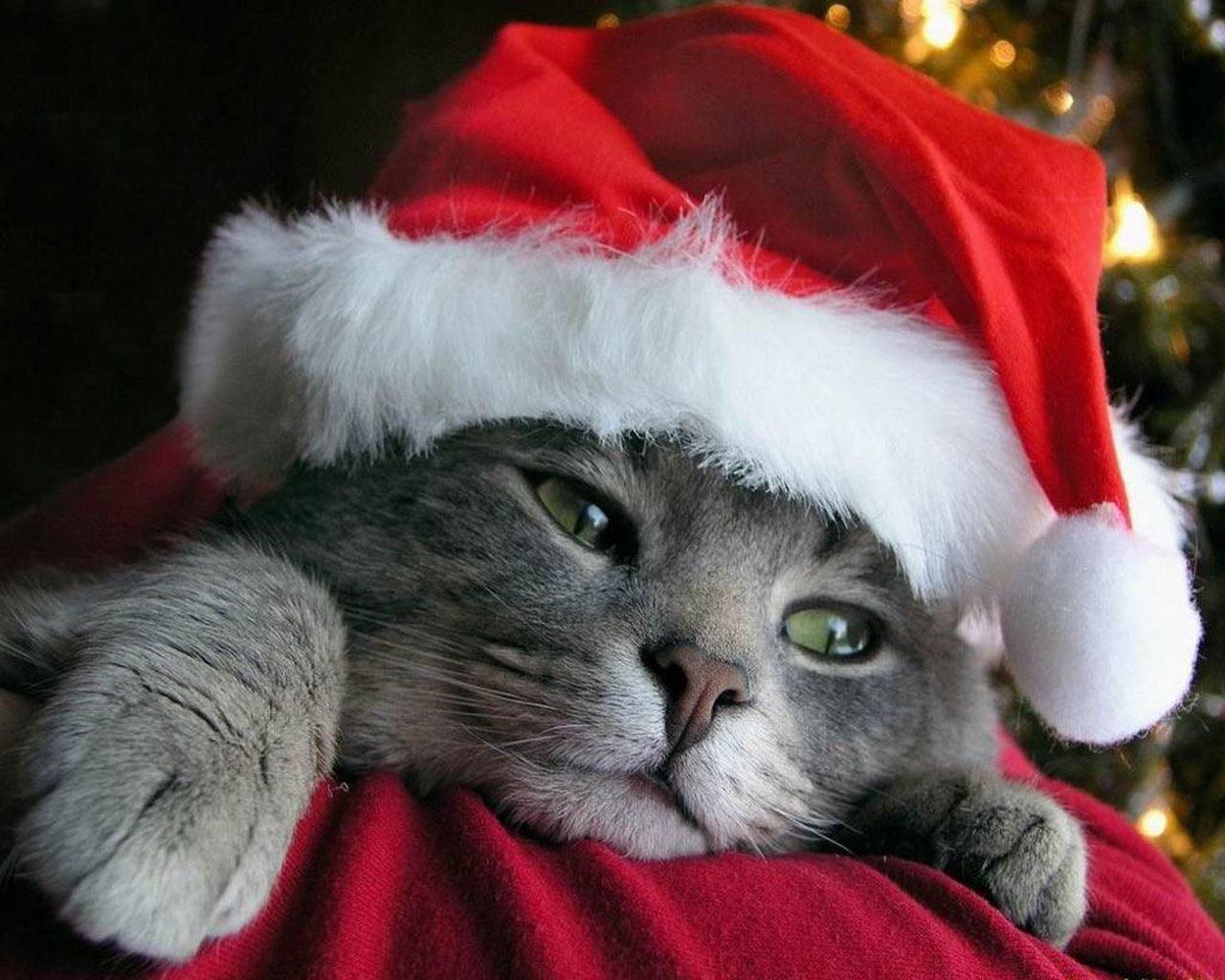 Gatti Vestiti Con Vestitino Di Babbo Natale Persbaglio