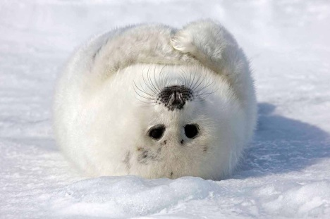 2012_01_the_smiling_harp_seal-004.1500x1000