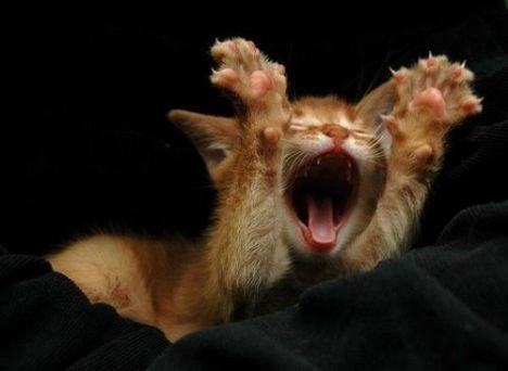 sbadiglio-di-gatto-3