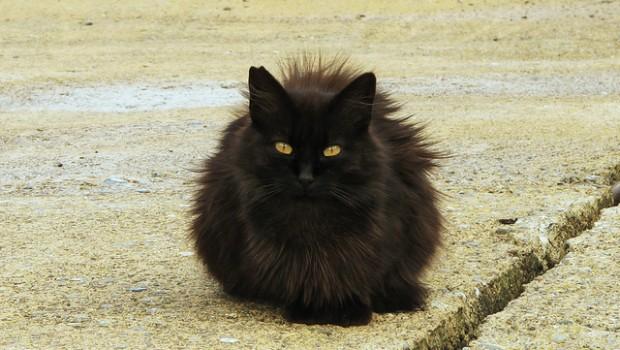 Bella nero peloso micio