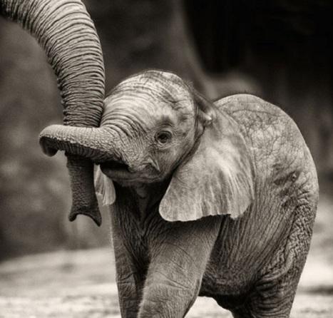 elefante-cucciolo-tiene-coda1