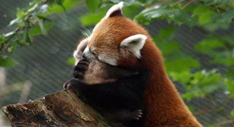 mamma e cucciolo di red panda