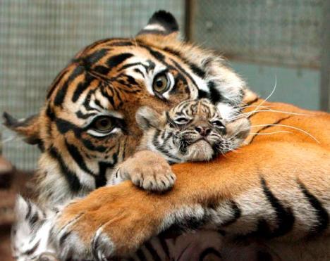 epa01003323 Tiger lady Duma hugs its baby at the Wilhelma zoo of Stuttgart, Germany, 08 May 2007. Duma gave birth to three Sumatran tigers four weeks ago.  EPA/Bernd Weissbrod