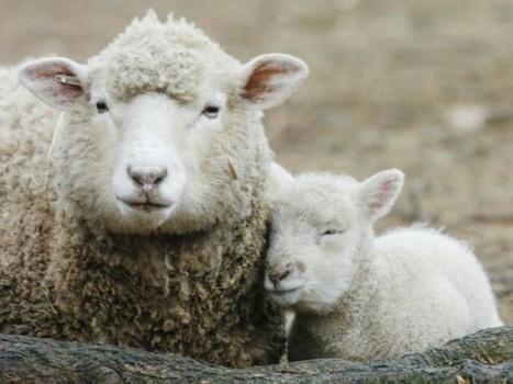 un-agnellino-con-la-pecora