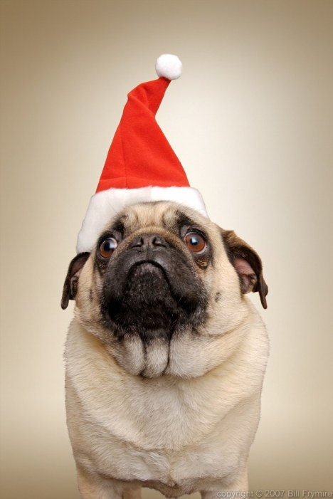 Pug Dog with Santa hat. copyright 2005 Bill Frymire