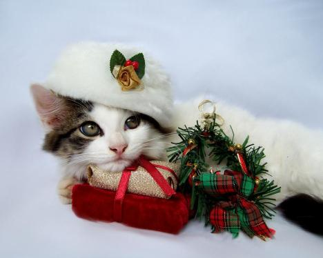 christmas-kitten-jai-johnson.jpg