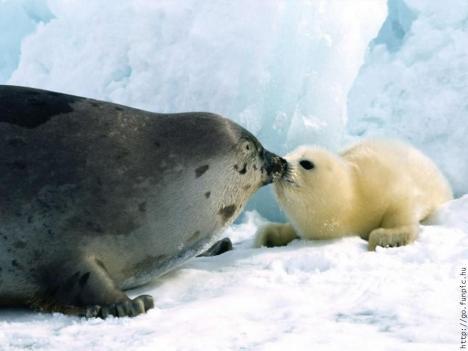 foca con fochetta