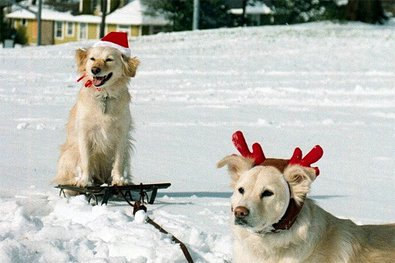 rudolph-dog-pulling-santa-dog-on-sleigh