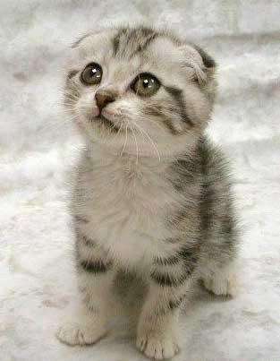gattino con orecchie basse