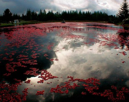 lago con fiori rossi