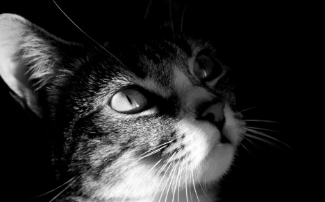 static-black-and-white-cats-hd-wallpapers