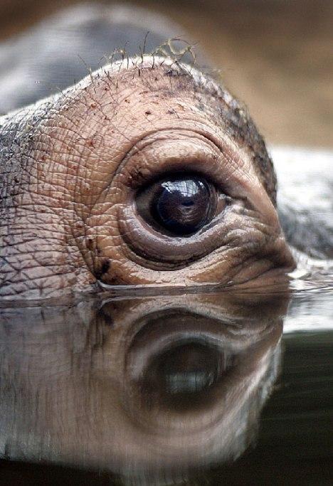 occhio ippopotamo