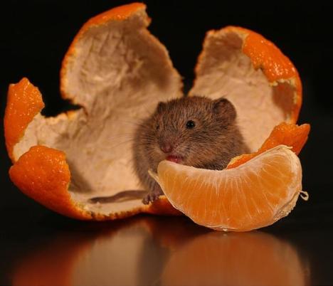 topolino che mangia mandarino