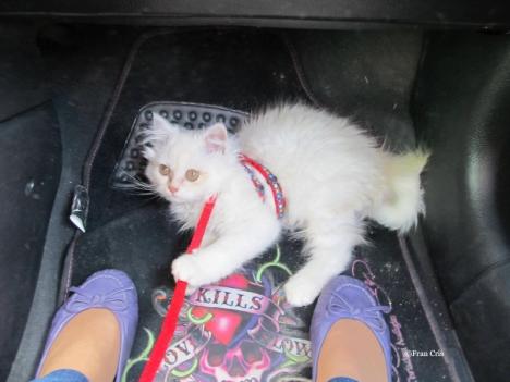 viaggiare-con-gatto-in-macchina