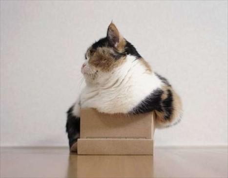 gatti-obesi-in-cerca-di-cuccia-la-scatola