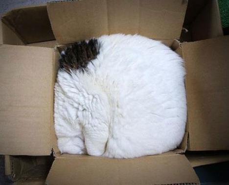 gatto-bianco-dentro-scatola