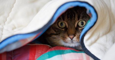 gatto_coperte