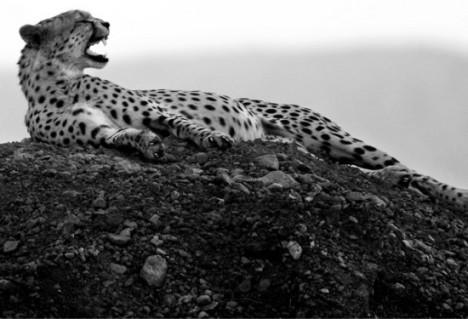 ghepardo-a-riposo