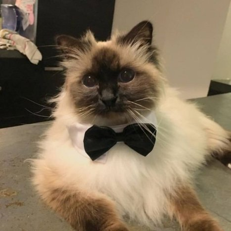 cats-in-business-attire-20-photos-23