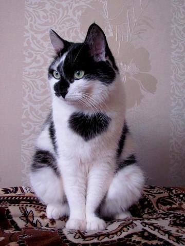 a-baa-gatto-bianco-e-nero