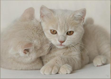 gatti bianchi coccolosi