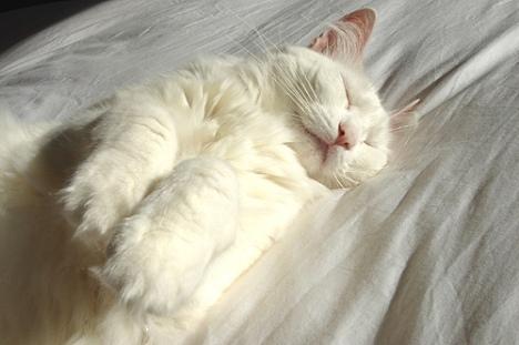 gatto bianco che dorme.jpg