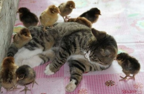 galline-con-gatto(1)