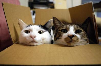 gatti dentro la scatola